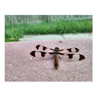Whitetail Dragonfly Postcard