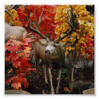 Whitetail In Autumn Poster