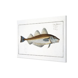 Whiting (Gadus Merlangus) plate LXV from 'Ichthyol Canvas Print