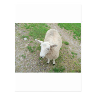 Who Are Ewe Looking At? Postcard