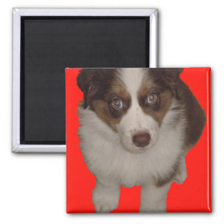 Who me? Aussie Puppy Red Square Magnet