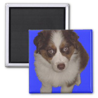 Who me? Red Tri Aussie Puppy Square Magnet