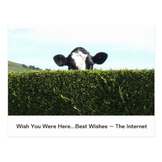 Whole Of The Internet - Cow Postcard