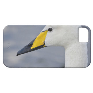 Whooper Swan at a pond in Reykjavik, Iceland. iPhone 5 Cases