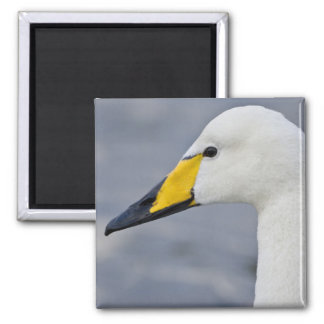 Whooper Swan at a pond in Reykjavik, Iceland. Magnet