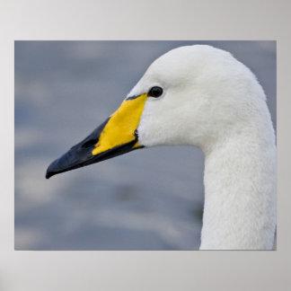 Whooper Swan at a pond in Reykjavik, Iceland. Poster