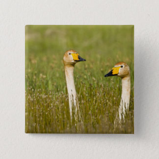 Whooper swan pair in Iceland. 15 Cm Square Badge