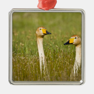 Whooper swan pair in Iceland. Christmas Ornament
