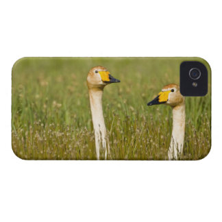Whooper swan pair in Iceland. iPhone 4 Case-Mate Case