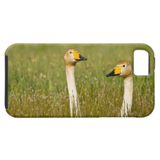 Whooper swan pair in Iceland. iPhone 5 Covers