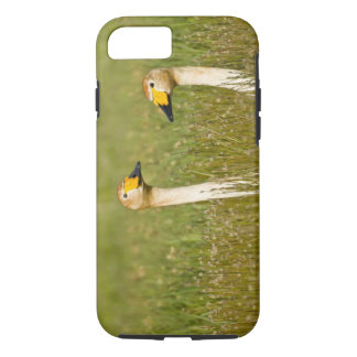 Whooper swan pair in Iceland. iPhone 8/7 Case