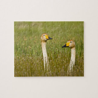 Whooper swan pair in Iceland. Jigsaw Puzzle