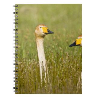Whooper swan pair in Iceland. Notebook