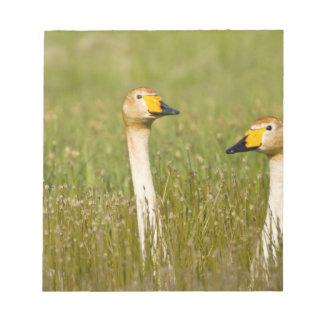 Whooper swan pair in Iceland. Notepad