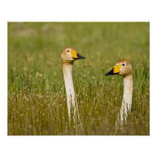 Whooper swan pair in Iceland. Poster