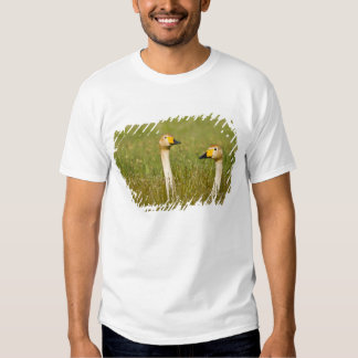 Whooper swan pair in Iceland. Shirts