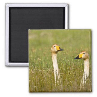 Whooper swan pair in Iceland. Square Magnet
