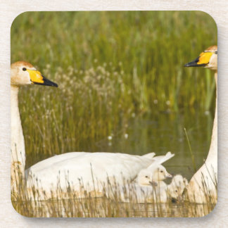 Whooper swan pair with cygnets in Iceland. Coaster