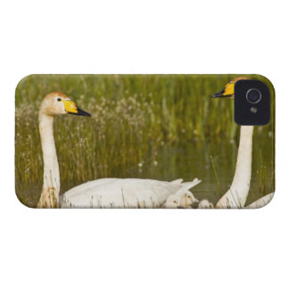 Whooper swan pair with cygnets in Iceland. iPhone 4 Cover