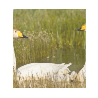 Whooper swan pair with cygnets in Iceland. Notepad