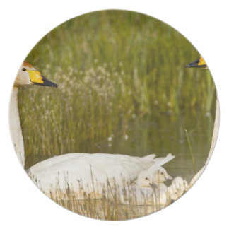 Whooper swan pair with cygnets in Iceland. Plate