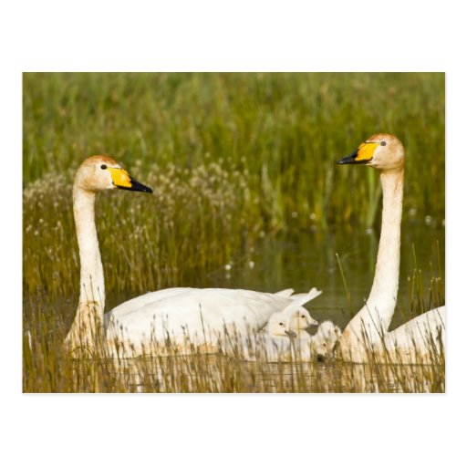 Whooper swan pair with cygnets in Iceland. Post Card