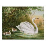 """Whooper Swan"" Vintage Bird Illustration Poster"