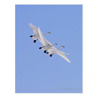 Whooper Swans flying in the sky Postcards