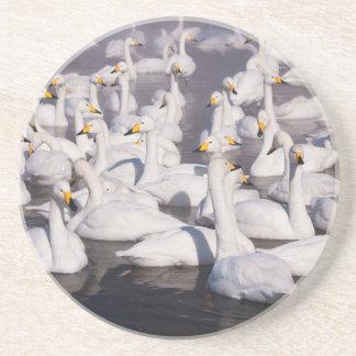 Whooper Swans, Hokkaido, Japan Coaster