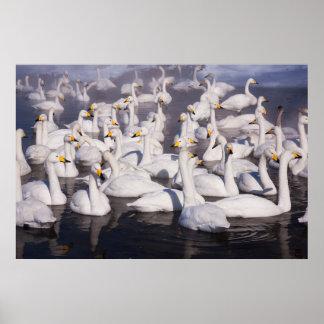 Whooper Swans, Hokkaido, Japan Posters