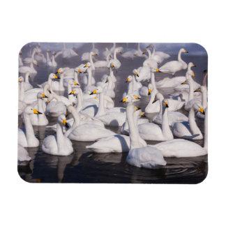 Whooper Swans, Hokkaido, Japan Rectangular Photo Magnet