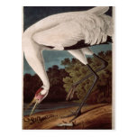 Whooping Crane, from 'Birds of America' Postcard