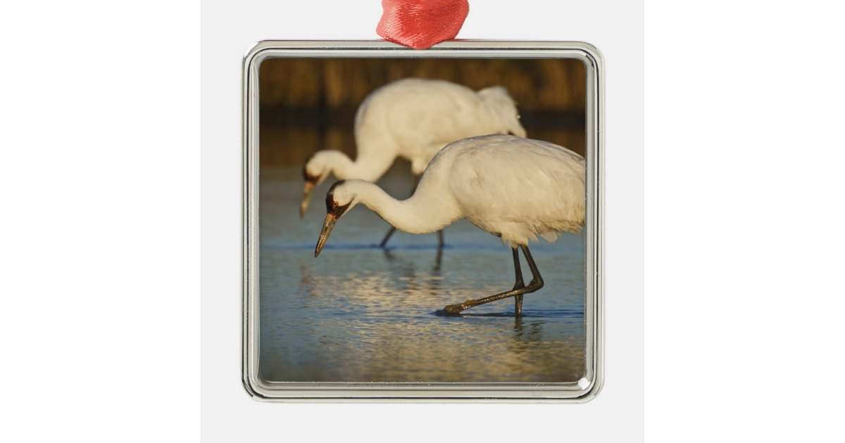 Whooping Crane wintering Christmas Ornament | Zazzle.co.uk