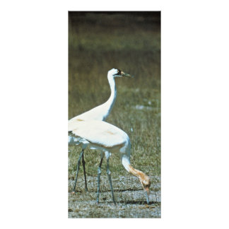 Whooping Cranes Full Colour Rack Card