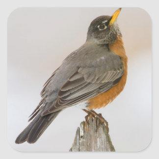 Wichita Falls, Texas. American Robin Square Sticker