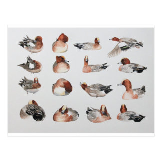 Widgeon. Waterfowl duck gift Postcard
