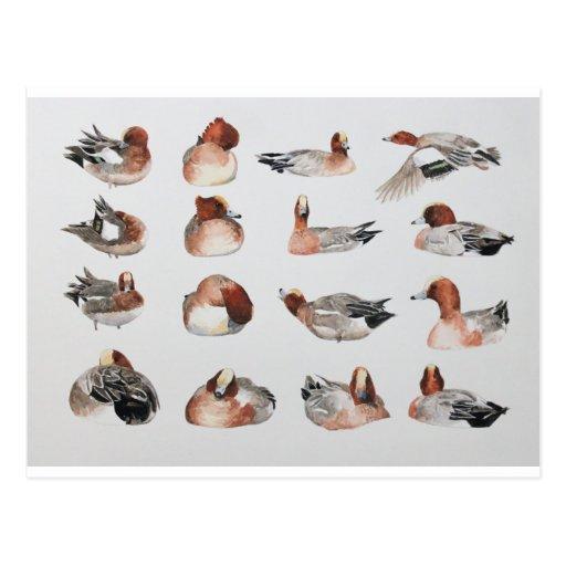 Widgeon. Waterfowl duck gift Postcard