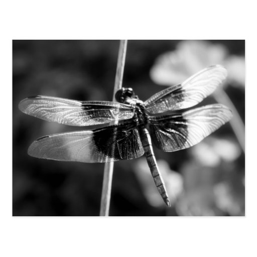 Widow Skimmer Dragonfly Black & White Photography Post Cards