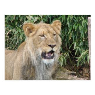 Wild African Lion Postcard