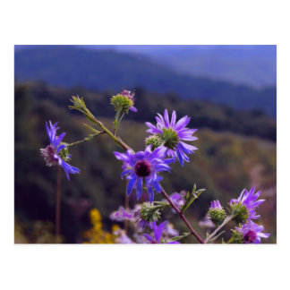 Wild Asters Postcard
