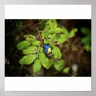 Wild Blueberries Poster