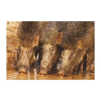 Wild Boars drinking water in the waterhole Canvas Prints