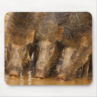 Wild Boars drinking water in the waterhole Mouse Mat
