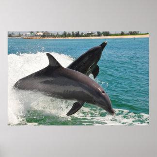 Wild Bottlenose Dolphins Jumping Sanibel Poster