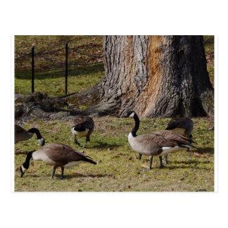 Wild Canada Geese Postcard