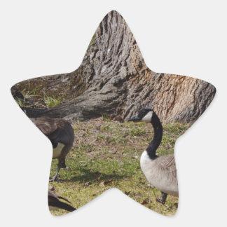 Wild Canada Geese Star Sticker