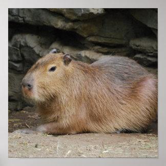 Wild Capybara Poster