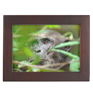 Wild Chimpanzee (Pan Troglodytes) Looking Keepsake Box