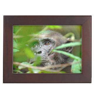 Wild Chimpanzee (Pan Troglodytes) Looking Memory Boxes
