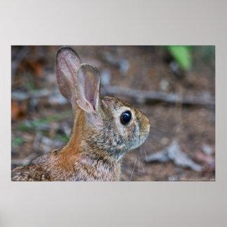 Wild Female Eastern Cotton Rabbit Poster